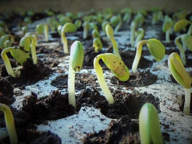 10-motivos-do-limao-ser-uma-das-frutas-mais-eficazes-no-dia-a-dia semente