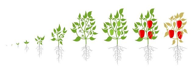 Estágios de uma plantação