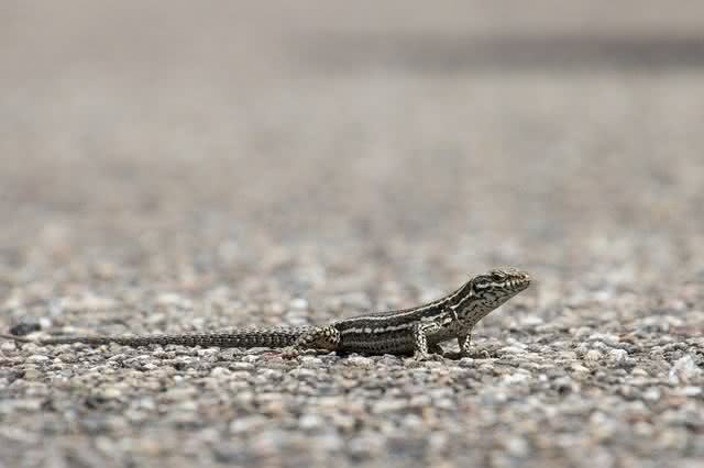 sSaiba como afastar da sua casa os temidos lagartos e lagartixas