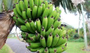 aprenda-a-fazer-biomassa-de-banana-verde-e-saiba-para-que-serve