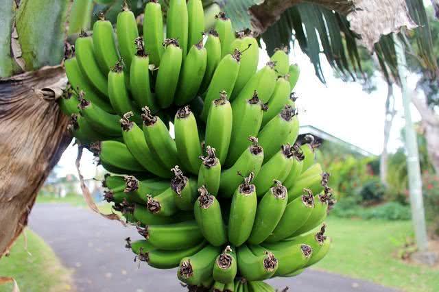 Aprenda a fazer biomassa de banana verde e para quê serve