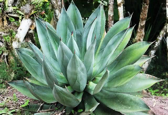durma-bem-conheca-as-plantas-que-todos-deviam-ter-no-quarto-aloe