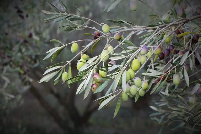 se-livre-das-incomodas-aftas-usando-remedio-caseiro-natural-oliveira