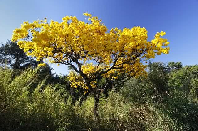 Chá de ipê amarelo oferece tratamento eficiente para reumatismo