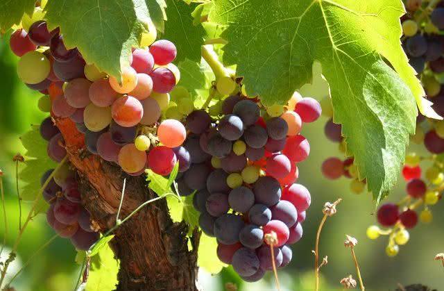 eveillon-comidas-que-dao-sorte-para-o-ano-novo-uva
