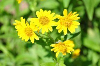 Remédio caseiro com plantas reduz as dores nas juntas