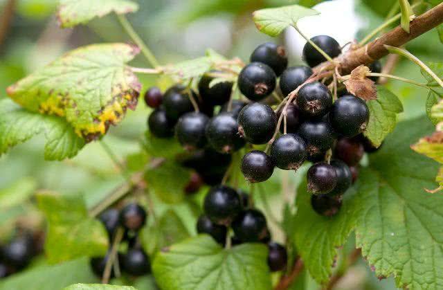 Chá de groselha negra: poderosa bebida fitoterápica