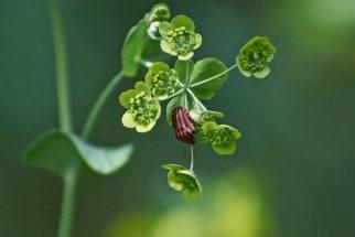 Ghai hu, planta usada na cultura oriental para tratar o fígado