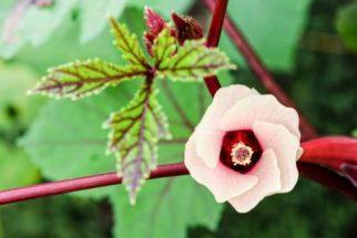 Vinagreira: planta aliada da saúde da mulher. Conheça suas propriedades