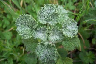 Marroio: essa plantinha pode curar o seu fígado de imediato. Veja!