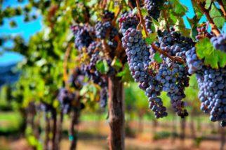Como fazer uma boa escolha na hora de comprar uvas