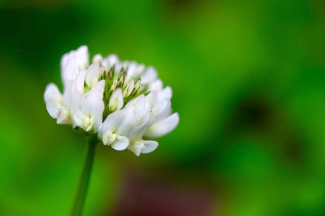 Trevo branco: propriedades e benefícios do chá dessa planta