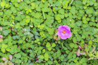 Planta parecida com erva daninha faz bem para a saúde