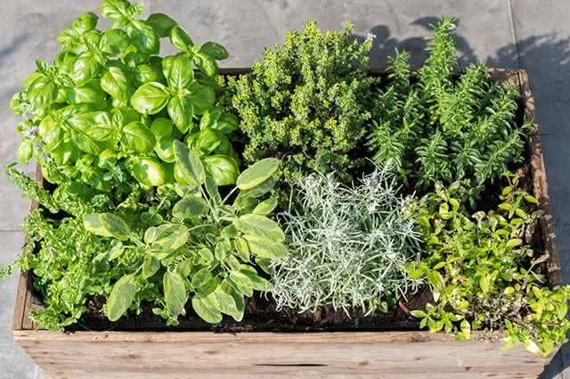 Ervas para chás que podem ser plantadas em casa