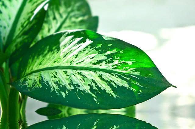 Quais plantas são tóxicas e venenosas e portanto não servem para chás