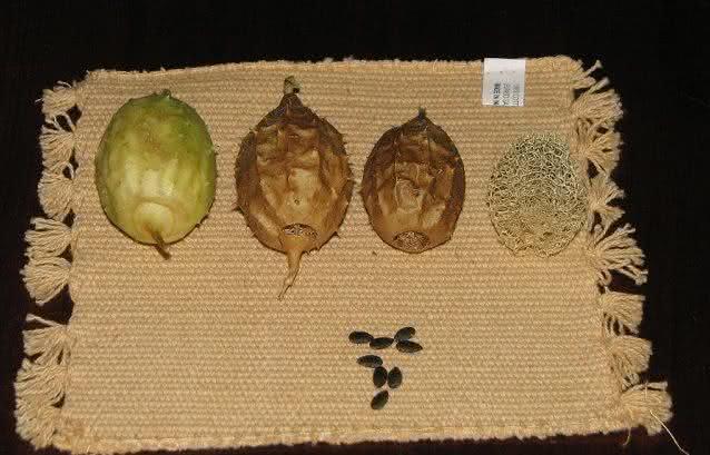 Para comprar: Saiba onde é possível encontrar a planta buchinha
