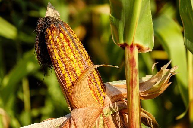 Frutose presente no milho é uma das responsáveis pelo potencial desse alimento