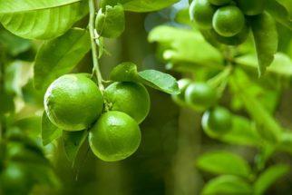 Limão faz mal ao fígado? Descubra