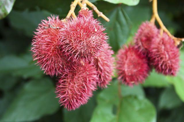 Além de emagrecer, o chá das sementes de urucum também mata vermes