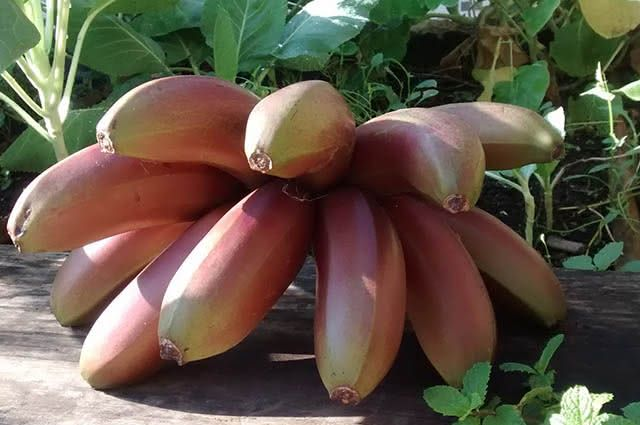 Assim como a amarela, a banana preta é rica em magnésio e potássio