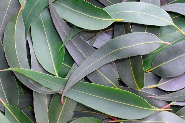 O eucalipto é um tratamento caseiro capaz de aliviar os sintomas da sinusite