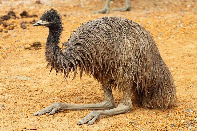 O óleo de emu é capaz de aliviar dores musculares e nas articulações