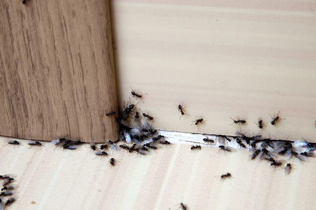 O melhor remédio caseiro para matar formigas é a mistura de vinagre e água