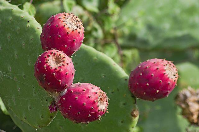 Frutos da cactinea