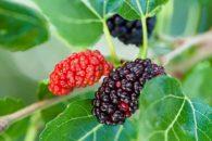 Amora miura: 12 benefícios comprovados pela ciência