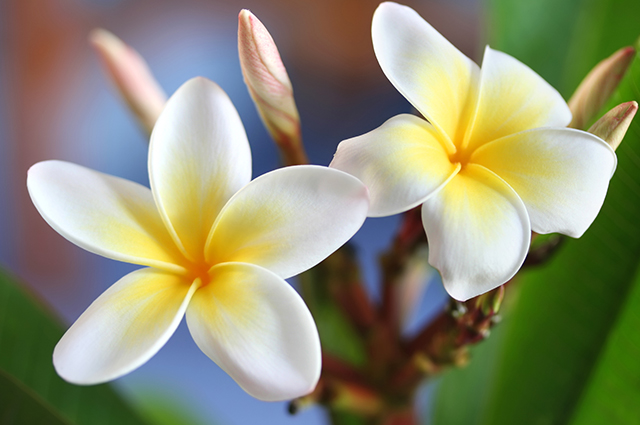 Flores da agoniada