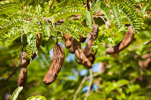 Folhas e fruto do tamarindo