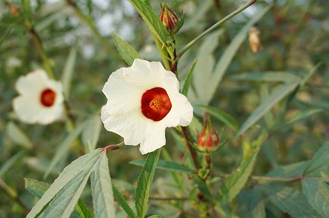 Flor e folhas de vinagreira