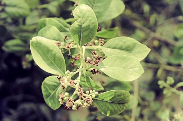 Folhas e flores da planta sândalo